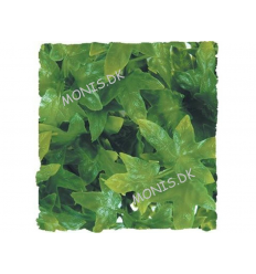 Natural Bush Congo Ivy